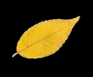 Ein gelbes Herbstblatt eines Baumes. Ein Symbol für Natur und Walderlebnisse mit Robinwoods.