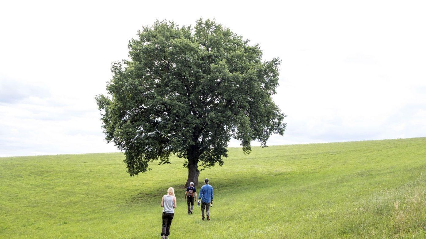 Drei Menschen gehen auf eine Eiche zu, die alleine auf einer großen grünen Wiese steht. Waldbaden Shinrin-Yoku Stressabbau mit Robinwoods. Entschleunigen im Wald.