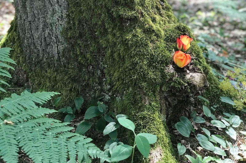 Zwei rotgelbe Rosen wachsen an einem Baumstamm im Wald.