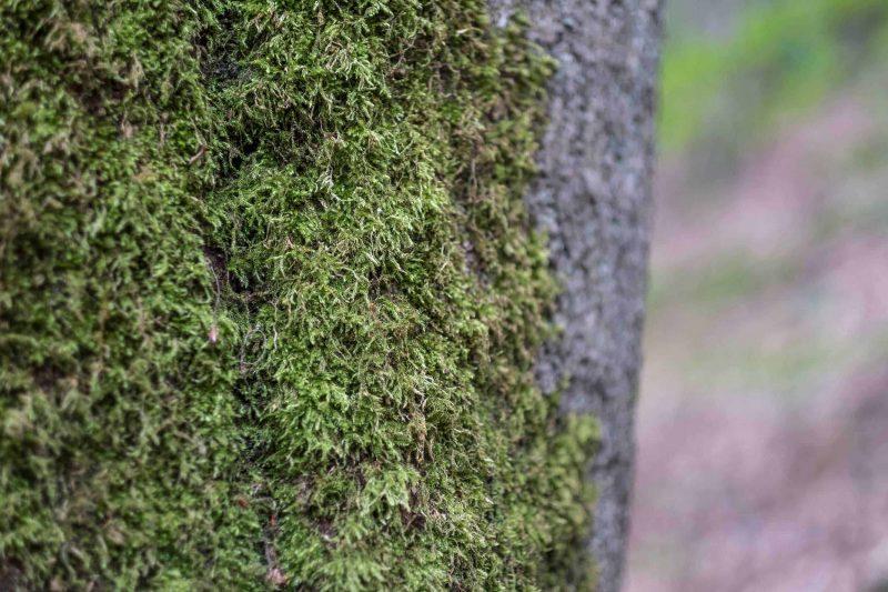 Herrlich duftendes Moos an einem Baum. Die Sinne erfahren beim Waldbaden komplett neue Eindrücke über tasten, riechen und sehen.